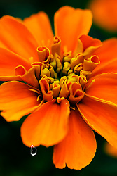 A Tear From The Petals of A Starburst Orange Flower