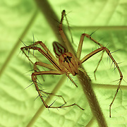 Lynx Spider (Oxyopes)