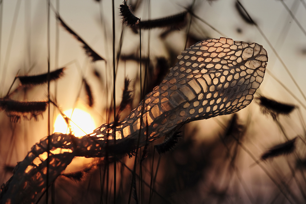 A rattlesnake skin in the tall grass of the Konza Prairie Natural Research Area, near Manhattan, Kansas.