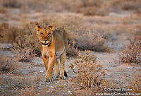 A beautiful lioness, illuminated by the last light of day, walks among the plains of Namibia's Etosha National Park, in preparation for a night of hunting. Male lions tend to get all the attention, but is the females who do the real work - they are the ones who provide food for the family