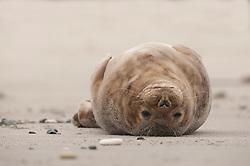 grijze zeehond, grey seal, Halichoerus grypus, kegelrob