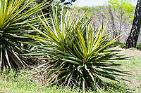 The Torrey Yucca (yucca torreyi) sometimes called Spanish Dagger or Spanish Bayonet, is the most common tree-formed yucca in west and central Texas.  It has erect wide leaves that are yellowish-green in color.  Texas Hill Country.