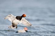 Redhead, Aythya americana, male, Harsen's Island, Michigan