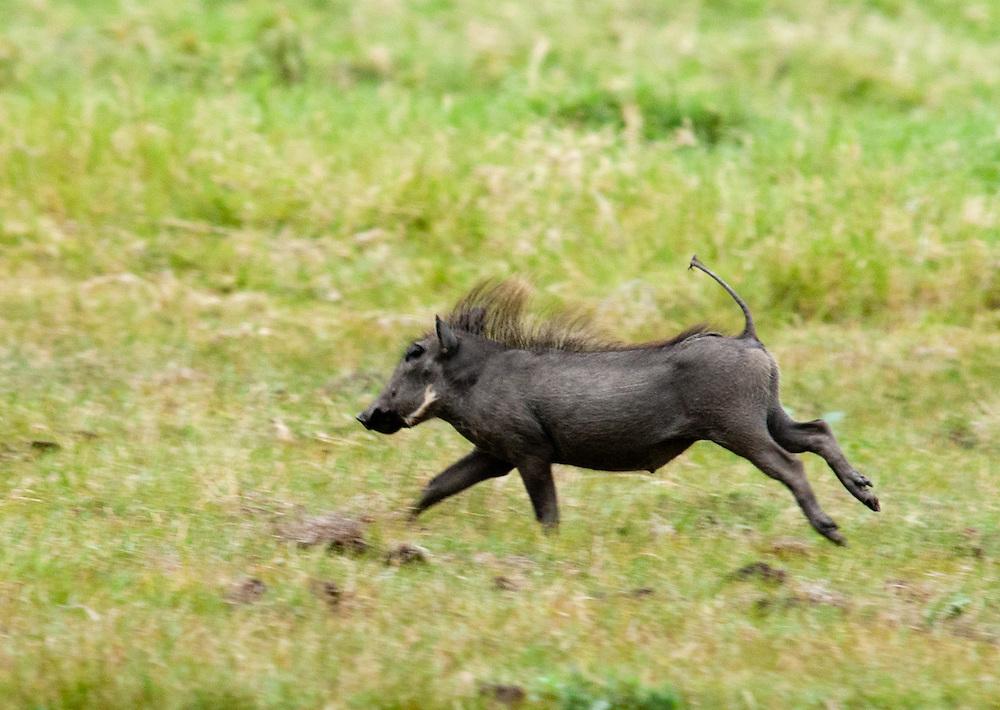 The Running Warthog - Ngiri (Pumba)