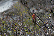 Cardinal perches in desert bush on Isla Santa Catalina, Baja, Mexico.