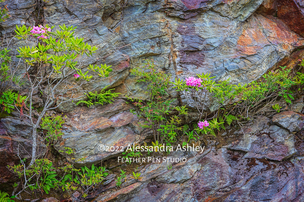 Catawba rhododendron and ferns growing in the wild on mountainside's colorful rocks. Blue Ridge Parkway, Asheville, North Carolina. Image placed as a finalist in Outdoor Photographer magazine's 8th annual Nature's Colors competition. Semifinalist, Denver Audubon 2016 Share the View competition.