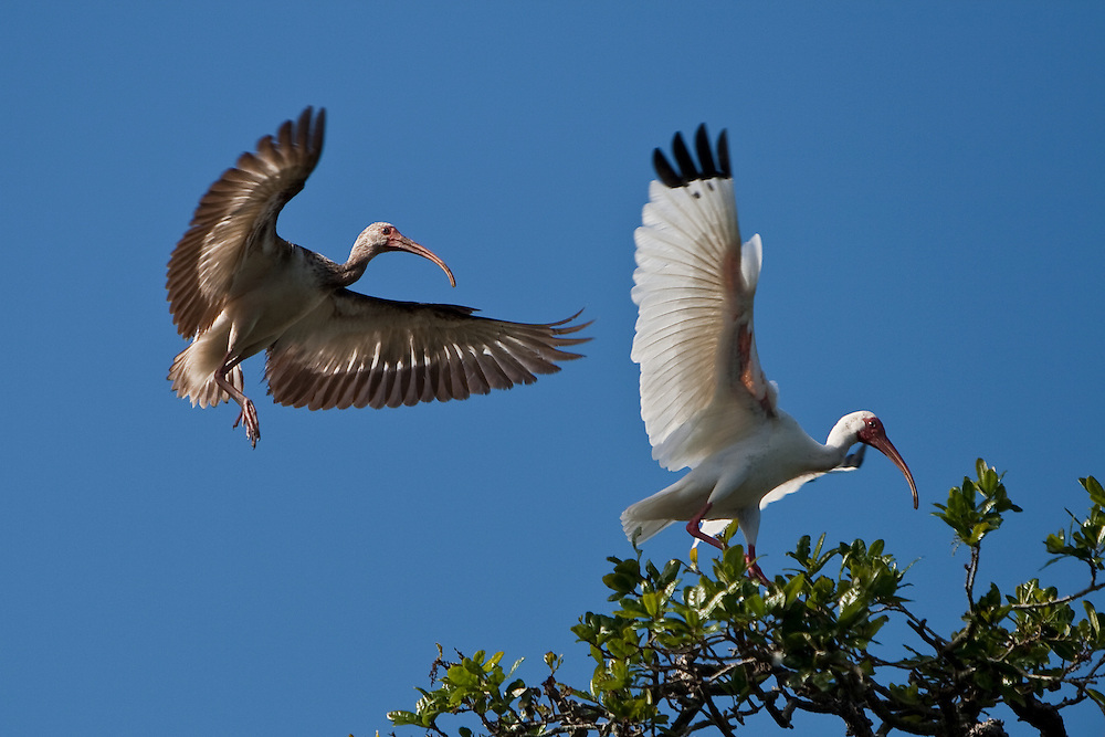 A wild adult and juvenile white ibis (Eudocimus albus) flying in to roost at the St. Augustine Alligator Farm Rookery, Anastasia Island, St. Augustine, Florida