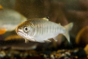 A coho salmon fry (Oncorhynchus kisutch) an endangered species. Captive.