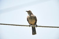 Curve-billed Thrasher (Toxostoma curvirostre) perched on a wire, Jocotopec, Jalisco, Mexico