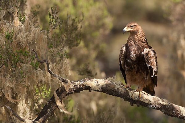 Tawny Eagle at Simien Mountains N.P., Ethiopia