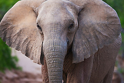 A close-up portrait of a desert-adapted elephant (Loxodonta  africana), Skeleton Coast, Namibia,Africa