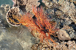A Gorgonian fan exposed on a coral bombie in Sampson Inlet, near Deception Bay in Camden Sound.
