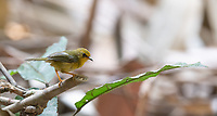 The golden babbler (Cyanoderma chrysaea) is a babbler species in the family Timaliidae. It occurs from the foothills of the Eastern Himalayas to Southeast Asia and inhabits subtropical lowland and montane forests.