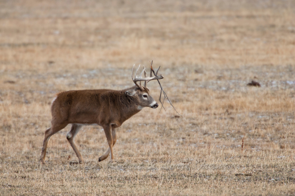Trophy whitetail buck in Wyoming during the fall rut (Odocoileus virginianus)
