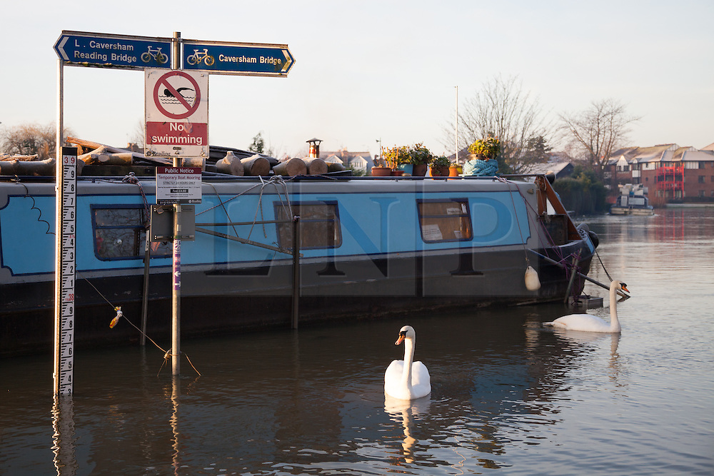 © Licensed to London News Pictures. 12/01/2014. Reading, Berkshire, UK. Swans swimming next to a 'No swimming' along the Thames Path in Reading, Berkshire. The River Thames has broken its banks causing extensive flooding. Photo credit : Rob Arnold/LNP