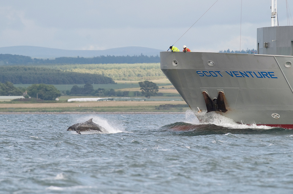 Bottlenose dolphin (Tursiops truncatus) , Moray Firth, Scotland, UK. Bow-riding oil tanker, crew watching from bow.