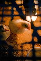 27\10\2010 Spiando da uno squarcio di una rete due pulcini bianchi di gallina nana nella loro dimora, residenti nella masseria Salita delle Pere sul Canale di Pirro...In Puglia, ancora oggi, persistono realtà autentiche e genuine: flora e fauna sono gli ingredienti base delle masserie che con i loro muretti a secco costellano il territorio del tacco d' Italia. Qui l'allevamento è una delle attività principali, ieri come oggi, che il massaro porta avanti quotidianamente con pazienza e devozione. La masseria delle Murge è abitata da equini, bovini, ovini ecc. che sono il motore della produzione alimentare come per esempio la tipica mozzarella. Entriamo quindi in un'atmosfera bucolica che ci fa respirare odori, gustare sapori e ammirare colori che identificano il territorio. Buon viaggio dei sensi..