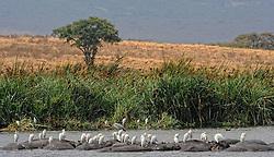24-10-2008 REPORTAGE: KILIMANJARO CHALLENGE 2008: TANZANIA <br /> De dag van De Ngorongoro-krater, de grootste intakte caldera (ingestorte vulkaankegel) ter wereld. Hij bevindt zich ten noordwesten van Arusha in Tanzania / Wild, dieren, Natuur, vogels, koereiger, nijlpaarden<br /> ©2008-FotoHoogendoorn.nl