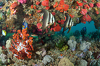 Angelfish and Spadefish in Soft Coral Encrusted Overhang<br /> <br /> shot in Indonesia
