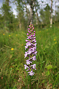 Wild orchids in Norway. Ville orkideer, fra Selbu og Tydal i Trøndelag. Gymnadenia conopsea, brudespore. Orkideen er på norsk rødliste. Fragrant Orchid is a flower that has a scent similar to cloves. It has a distinctive three lobed lip and long spurs. <br /> This species' habitat includes lime, grassland, and fens throughout northern Europe. Flekkmarihand (Dactylorhiza maculata)er den vanligste orkideen i Norge. The Heath Spotted Orchid or Moorland Spotted Orchid.