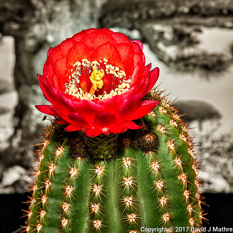 Cactus in Bloom. Indoor spring nature in New Jersey. Image taken with a Nikon Df camera and 105 mm f/2.8 VR macro lens (ISO 100, 105 mm, f/16, 1/30 sec) and SB-900 flash.