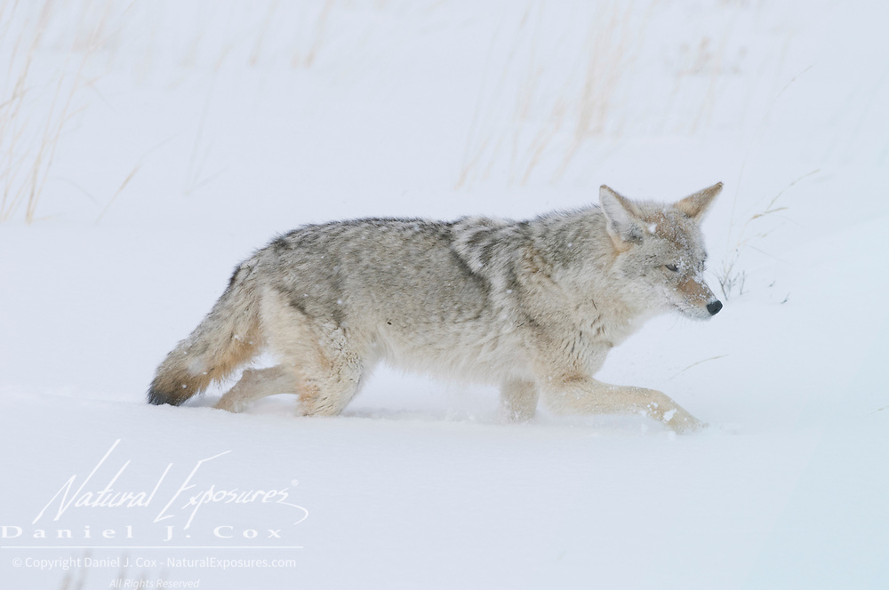 Coyote ( Canis Latrans) in Yellowstone National Park, Wyoming.