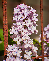 Lilac flowers. Image taken with a Nikon N1V3 camera and 70-300 VR lens (ISO 200, 300 mm, f/8, 1/500 sec).