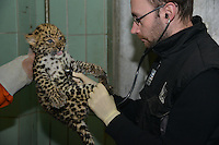 """LYON, FRANCE - OCTOBER 15:  Birth unprecedented in Zoo of Lyon: a """"panthere de l'Amour"""" on October 15, 2013 in Lyon, France. <br /> This baby panther was born at the zoo in Lyon on 21 August<br /> It has no name yet, because the city of Lyon hosted a vote that people choose.<br /> This is the 20th birth in the zoo since the beginning of the year.<br /> This """"panthère de l'Amour"""" is born by two young Siberian felines arrived at the zoo in Lyon there are less than 3 years.<br /> A species in danger of extinction<br /> The appearance of the animal creates a new line from the captive population of this species in danger of extinction today it no longer counts as 30-35 Panthers this type in nature.<br /> (Photo by Bruno Vigneron/Getty Images)"""
