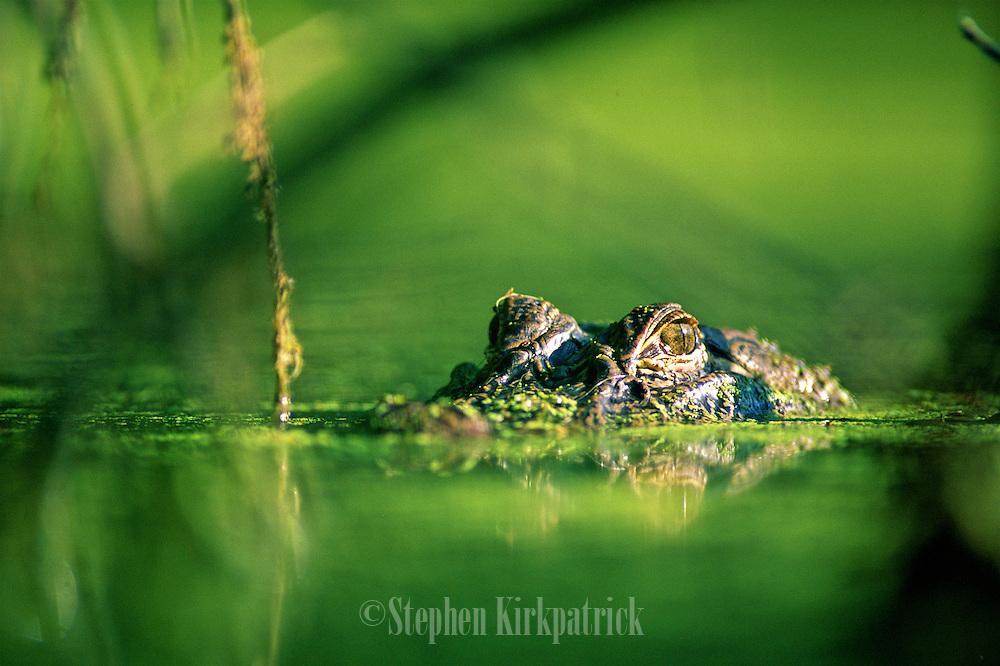 Eye level with alligator in bayou - Mississippi.