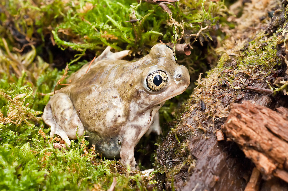 The plains spadefoot toad, Spea bombifrons, is a species of toad that ranges from southwestern Canada, through the Great Plains of the western United States, into northern Mexico.