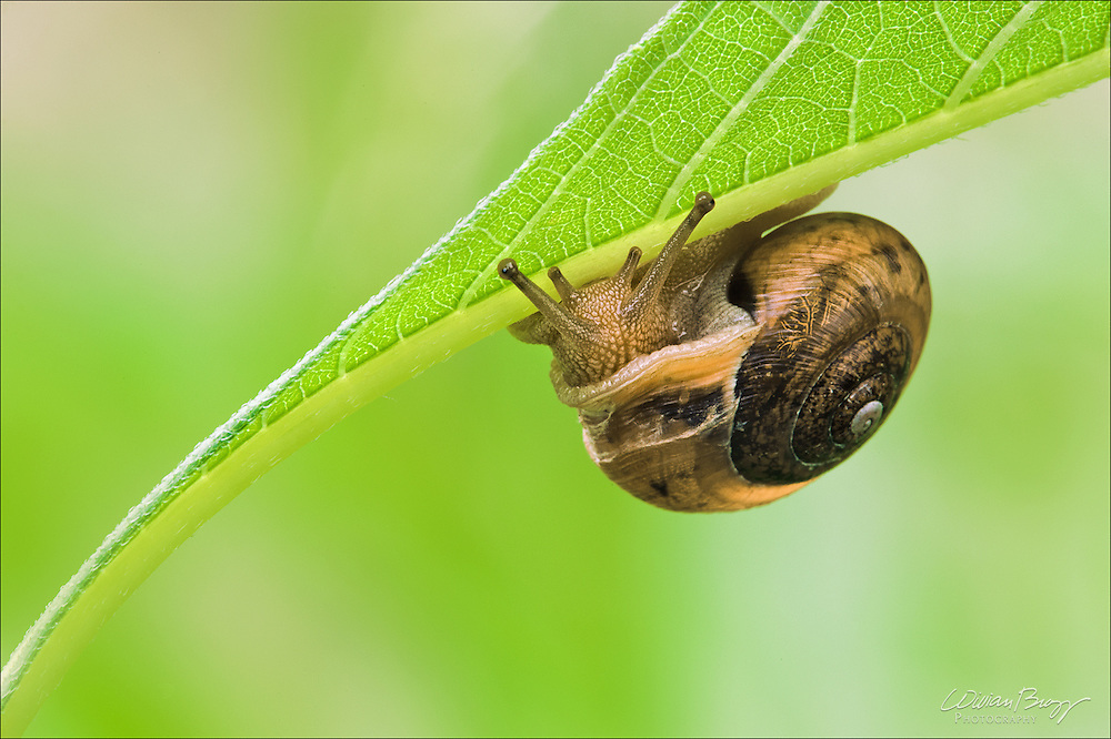 A snail sliding it's way back to the undergrowth after a night of foraging