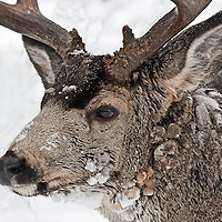 full face muledeer buck ice frost on face