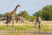 Giraffen in der Etoscha