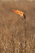 A prairie plant bursts into flame from the intense heat of an approaching prairie burn. ©Peoria Journal Star/David Zalaznik