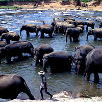 PINNAWELA, OCTOBER-3 : Elphants take a bath  in the Ma Oya river in Pinnawela, October 3, 2005, Sri Lanka,   years. .    .The Pinnawela orphanage was started in 1975 and initially designed to afford care and protection to the many baby elephants found in the jungle without their mothers. In most cases the mother either had died or been killed. .Animals are allowed to roam freely duringthe day and a herd structure allows to form. there are only a few elephant orphanges worldwide. At Pinnawela an attempt was made to simulate, in a limited way, the conditions in the wild. Currently the herd consists of 75 elephants under the surveillance of legendary  Mahout chief Sumanabanda.