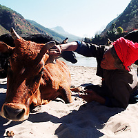 "DIQING COUNTY, DECEMBER 19, 2000: a Tibetan nomad plays with a cow near the NU river, Yunnan province , December 19, 2000.. Diqin county is believed to be part of the areas on which James Hilton's famous novel "" lost Horizon""- a description of Shangri-La- is modelled.."