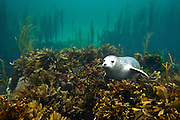 A grey seal (Halichoerus grypus) pup rests on a bed of seaweeds on summer (June). Cairns of Coll, Island of Coll, Inner Hebrides, Scotland. North East Atlantic Ocean.