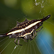 Gasteracantha sp. Spiny orb-weaver spider.