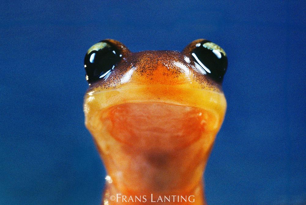Yellow-eyed ensatina salamander, Ensatina eschscholtzii xanthoptica, Monterey Bay, California