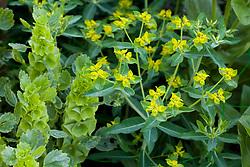 Euphorbia oblongata with Moluccella laevis - Bells of Ireland