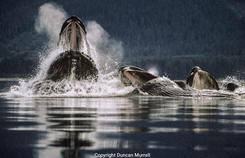 This feeding group clearly illustrates a typical formation with either one or two lead whales ascending vertically out of the water and the rest surfacing on their sides. Sometimes there was more than one lead whale, but quite often it was just one.
