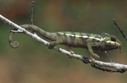 Chameleon, Feeding on insect. Indigenous to Madagascar.