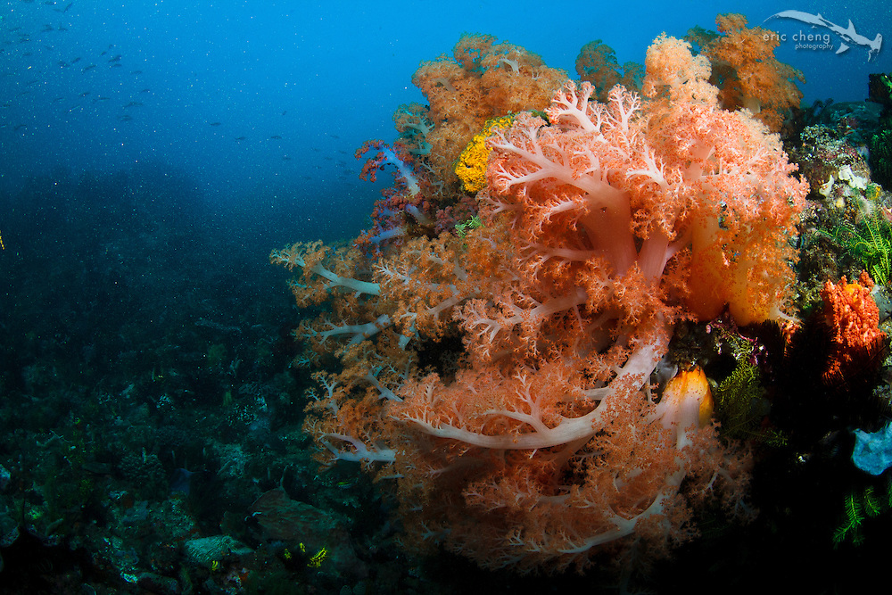 A cluster of healthy, colorful soft coral on the reef on Cannibal Rock, Komodo National Park, Indonesia.