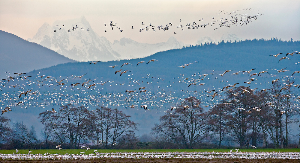 Flocks of Snow Geese (Anser caerulescens) fly in early morning over Fir Island in the Skagit River Delta at Puget Sound with Whitehorse Mountain in the distance, Washington, USA.