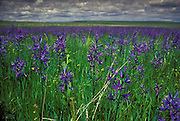 Field of common camas flower (Camassia quamash) on The Nature Conservancy's Zumwalt Prairie Preserve. Late June 2001. This Preserve contains some of the largest, most intact examples of bunchgrass prairie left in North America.