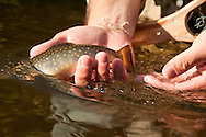 Releasing a brook trout while fly fishing the Fox River in Michigans Upper Peninsula.