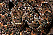 Snakes South Africa