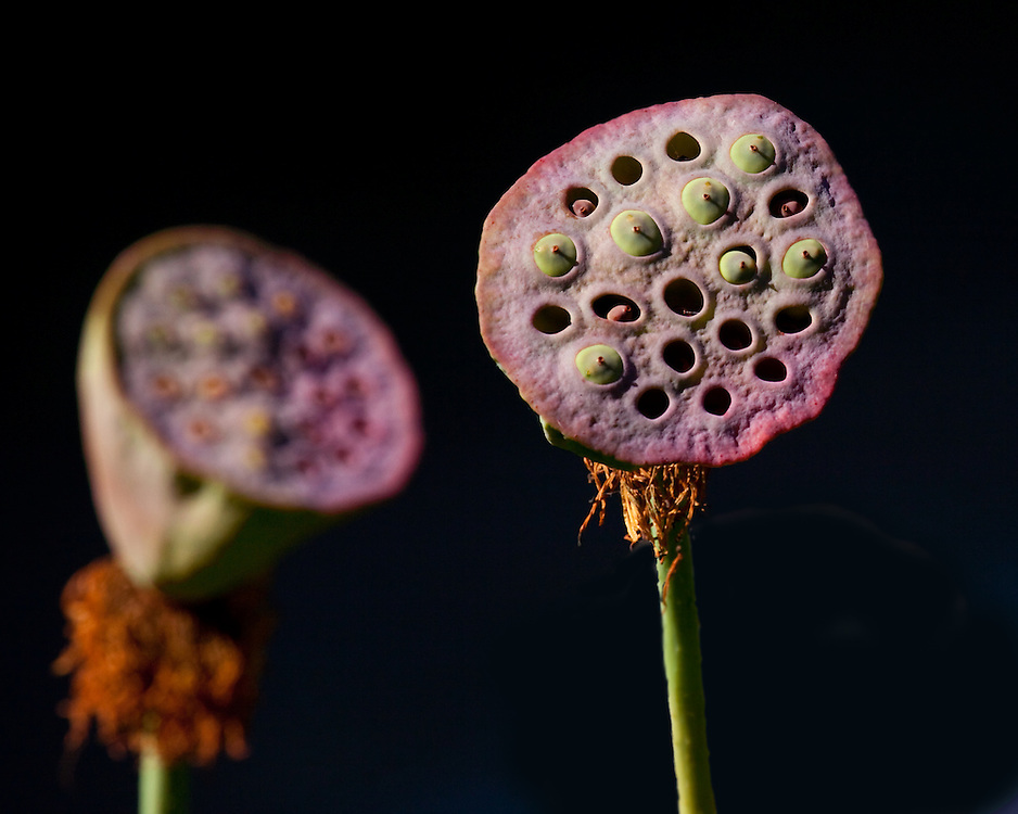 Two remains of lotus flowers going to seed. Lily Pond.