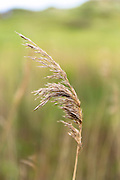 Wild grass in wetland in United Kingdom