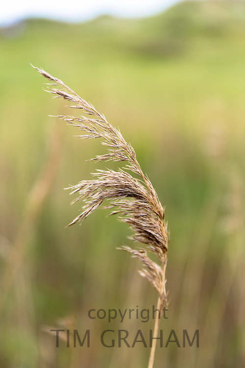 Wild grass in wetland in United Kingdom